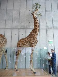 yay, giraffe!