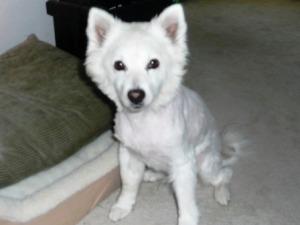 shaved puppy