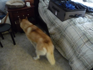 Sadie investigating the chaos under the bed